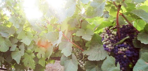 Foto 3 de Sociedade Agrícola Monte Seis Reis - Vinhos, Lda