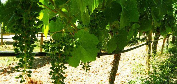Foto 4 de Sociedade Agrícola Monte Seis Reis - Vinhos, Lda